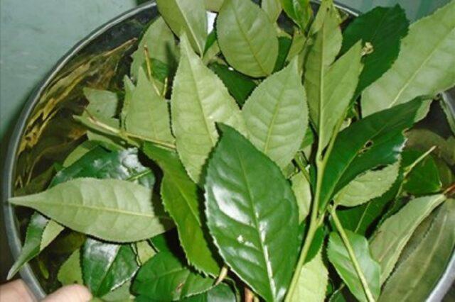 Hàm lượng vitamin C và chất chống oxy hóa cao trong trà xanh giúp làm dịu vết thương và sát khuẩn hiệu quả